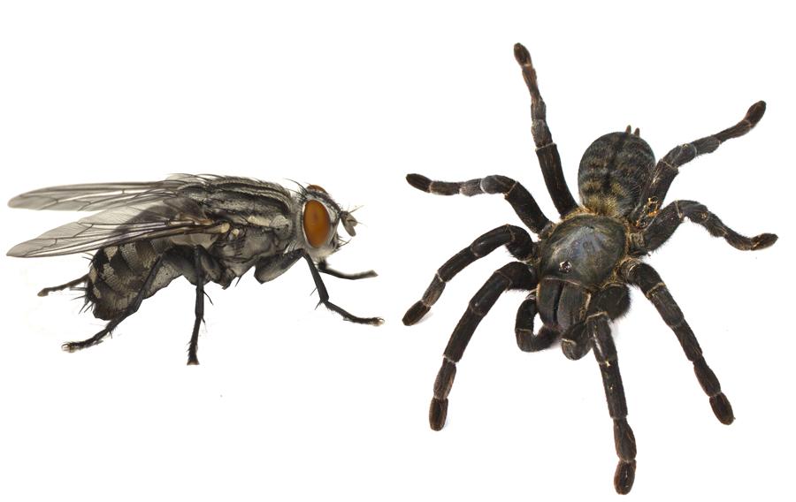 Lujuria y cruzar las moscas